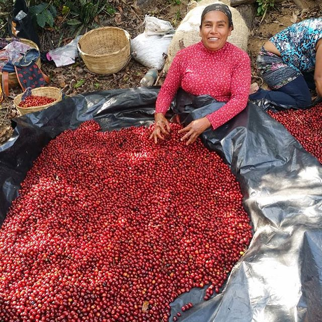 El Manzano starting off with smiles and incredible fruit this new 18/19 Harvest. - - #firstdayofharvest #elpalmerolot #fincaelmanzano #coffee #cafe #coffeegram #elsalvador #singleorigin #cuatromcafes #cafedeelsalvador #estatecoffee #sustainablecoffee #coffee #directtrade #coffeetime #cafe #specialtycoffee