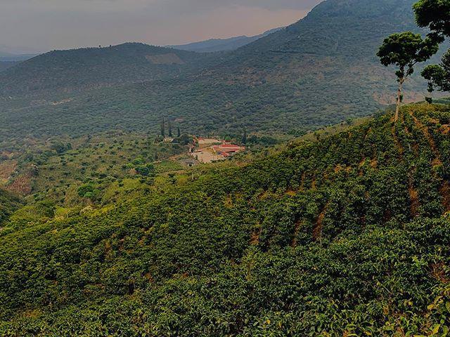 Slowly the rainy season brings lush and brightness to the green coffee fields. #fincaelmanzano