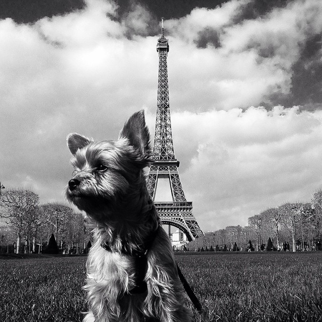 Our Ruff Traveler taking in the Eiffel Tower. #rufftravelers #France #Eiffeltower