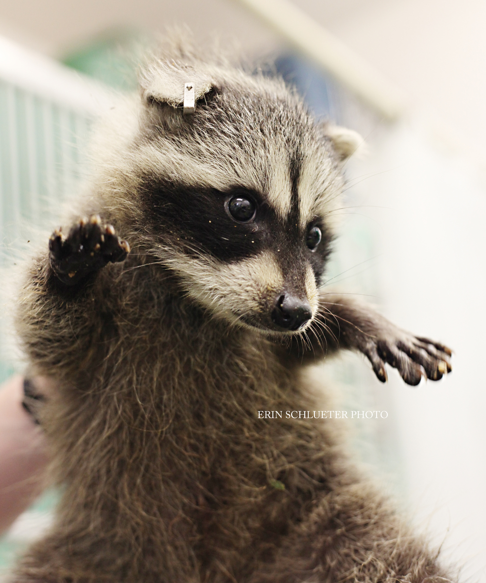 This adorable abandoned baby raccoon was a patient at PAWS last summer. Raccoons are one of the many species that the wildlife center cares for.