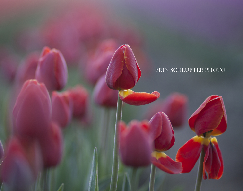 This photo was taken in La Connor at the Tulip Fields - which is one of my favorite places to visit in the Spring