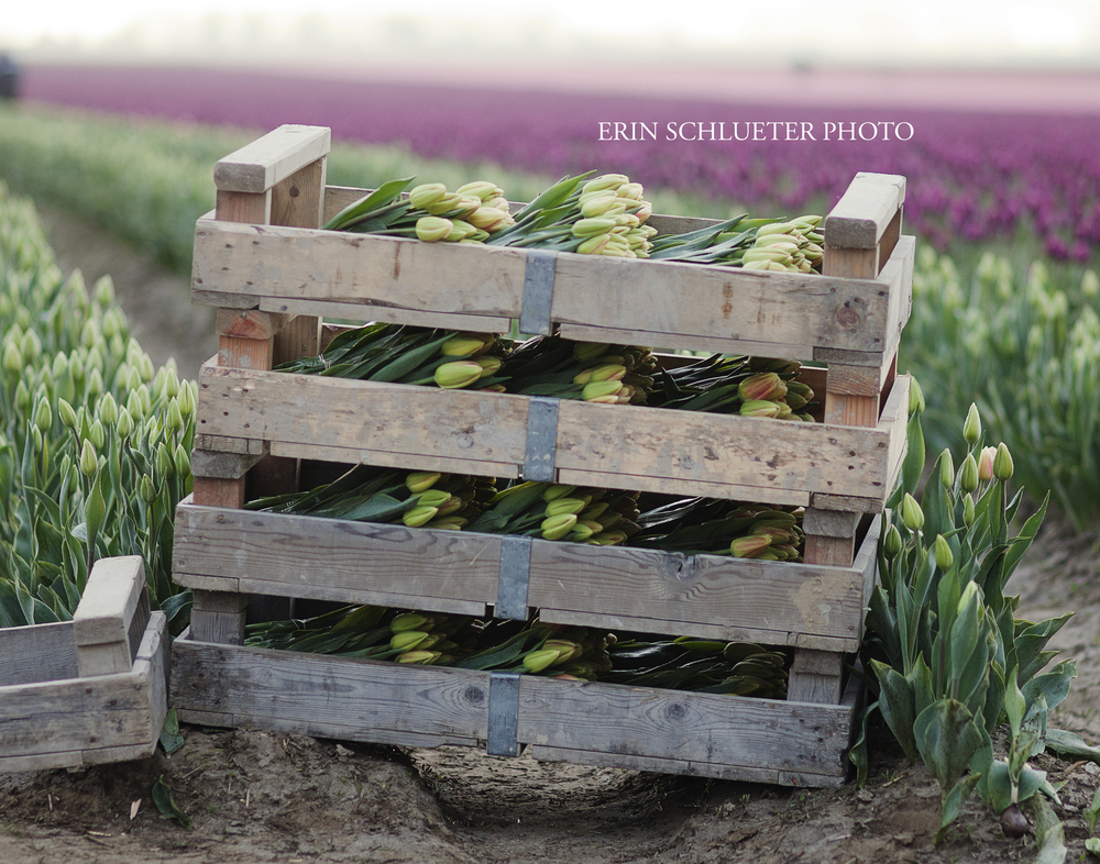 I saw this crate while we were walking through the tulip fields and I loved the rustic look. This photo was taken early in the morning, which is the best time to visit the tulips and avoid the crowds.