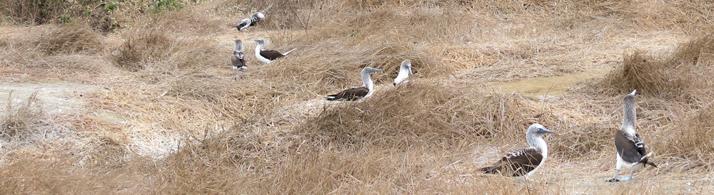 Blue-footed Boobies nesting on Isla de la Plata, Ecuador.