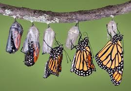 catapillar to butterfly