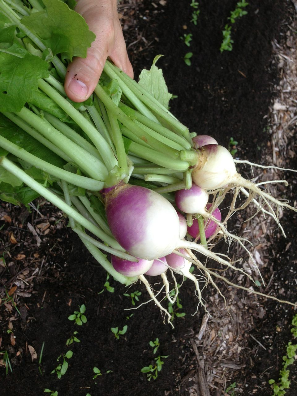 local turnips