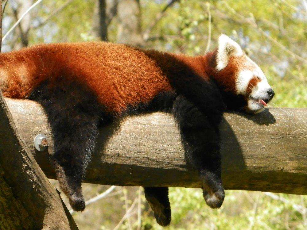 red-panda-731987_1920.jpg