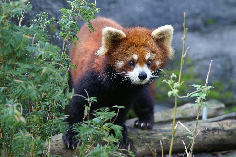 red-panda-day 2.jpg