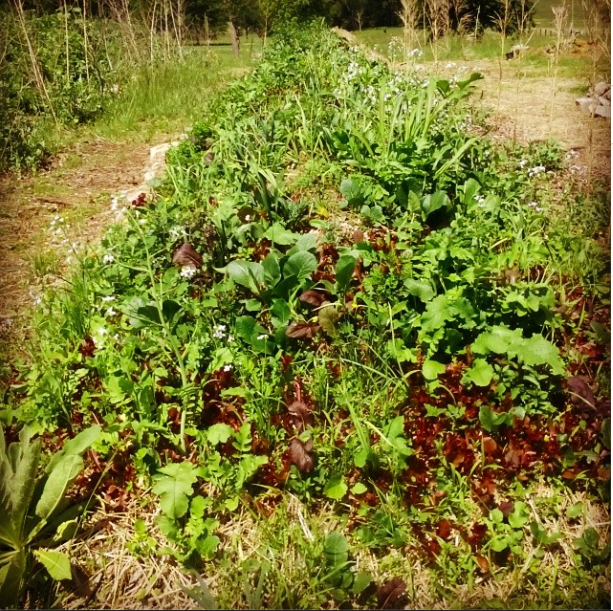 A hugelkultur bed in early May thick with lettuce, asian greens, carrots, radishes, turnips, shallots, and herbs. Polycultural arrangements provide more than a beautiful display. They protect against pest invasion, provide nutrient support, and allow for the gardener to reap a time-stacked harvest.