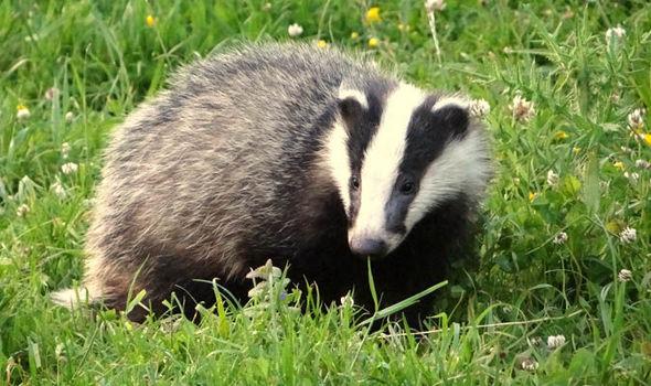 Badger-580731.jpg