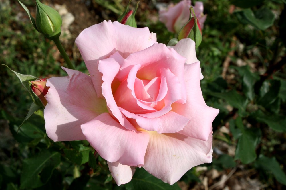 pink-rose-in-full-bloom.jpg