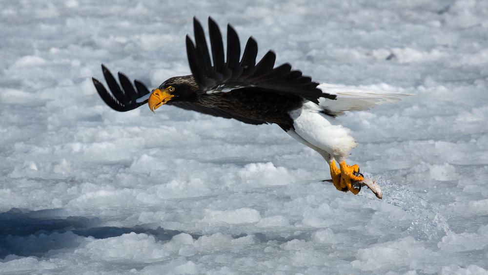 Steller's Seal Eagle
