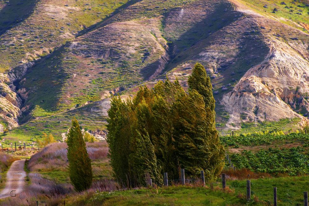 Wedderburn Poplars