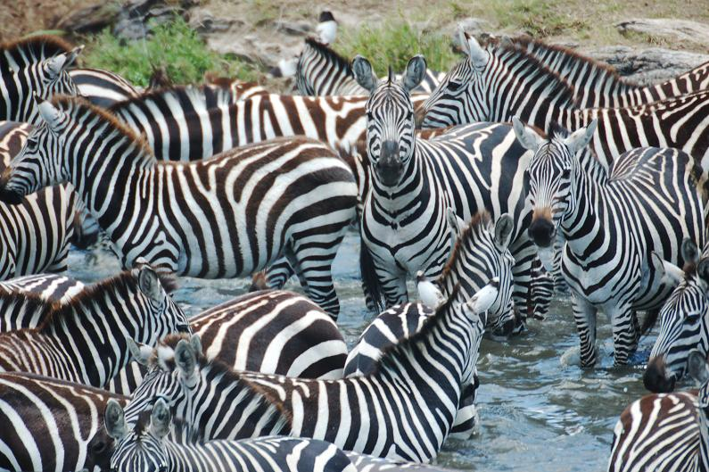 Christian education is about small groups.  And I like Zebras!