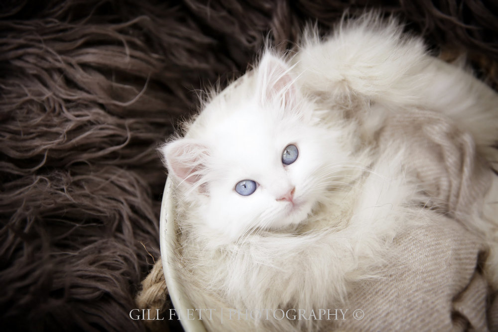 white-ragdoll-kitten-gillflett-photo