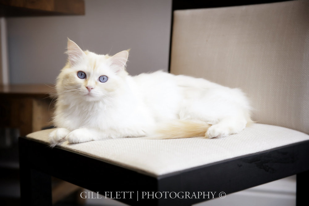 gill_flett_photo_ragdoll_kittens_img_0001.jpg