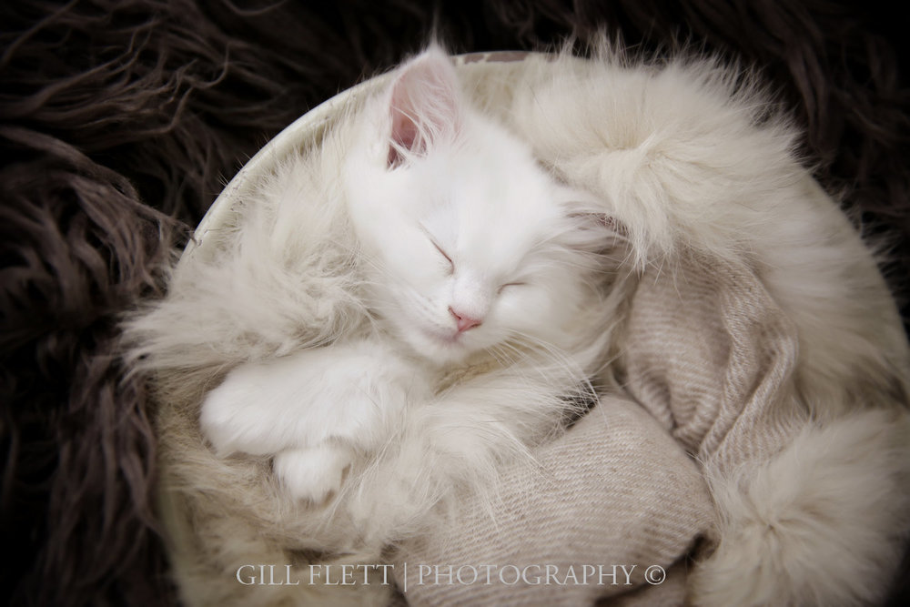gill_flett_photo_ragdoll_kittens_img_0003.jpg