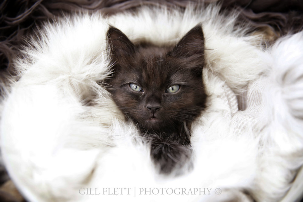 gill_flett_photo_ragdoll_kittens_img_0004.jpg