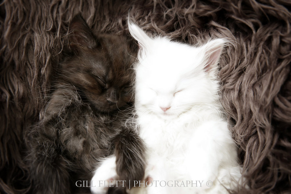 gill_flett_photo_ragdoll_kittens_img_0006.jpg