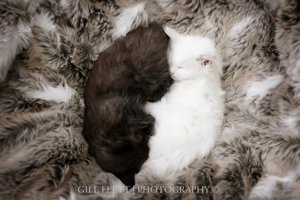 gill_flett_photo_ragdoll_kittens_img_0007.jpg
