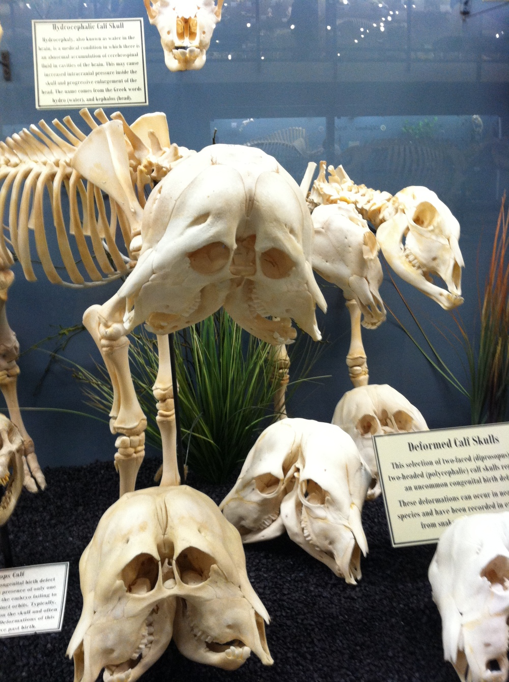 Calf scull deformaties!