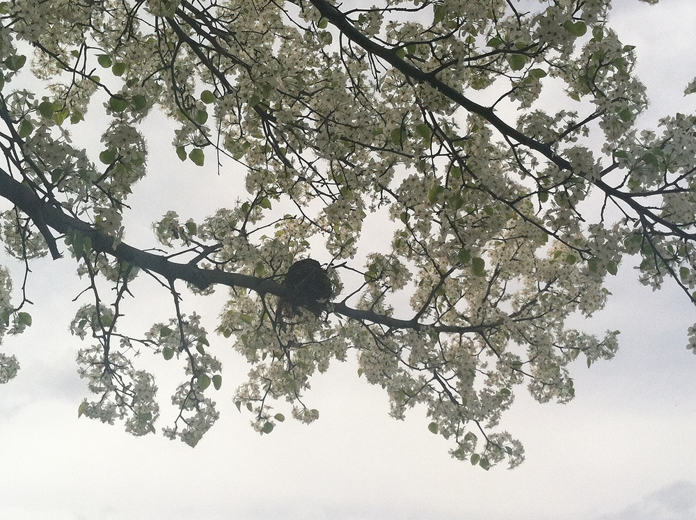 Birds nest in a Bradford pear