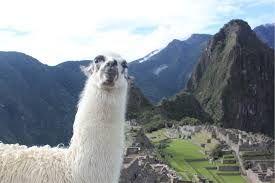 Llama in shot in Peru