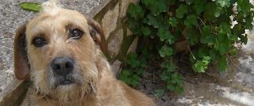 Miedos y fobias. Un perro con miedo sabe cómo reaccionar ante él (esconderse, huir, agredir), mientras que un perro con fobia (miedo exagerado) pierde el control sobre sí mismo.