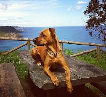Ginger es la pequeñaja de casi 40 kilos. La adoptamos de un refugio cuando era cachorro, y posiblemente sea una rhodesian ridgeback. Es una comilona insaciable y un trasto al que le encantan los niños. Siempre está contenta, sobre todo si hay comida.