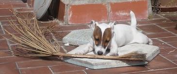 Adiestramiento en obediencia básica. Enseñanza de las órdenes básicas que debe conocer cualquier perro para una adecuada convivencia.