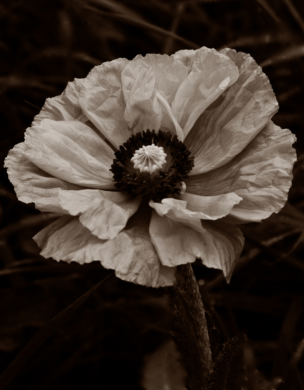 Poppy by Philip Smith