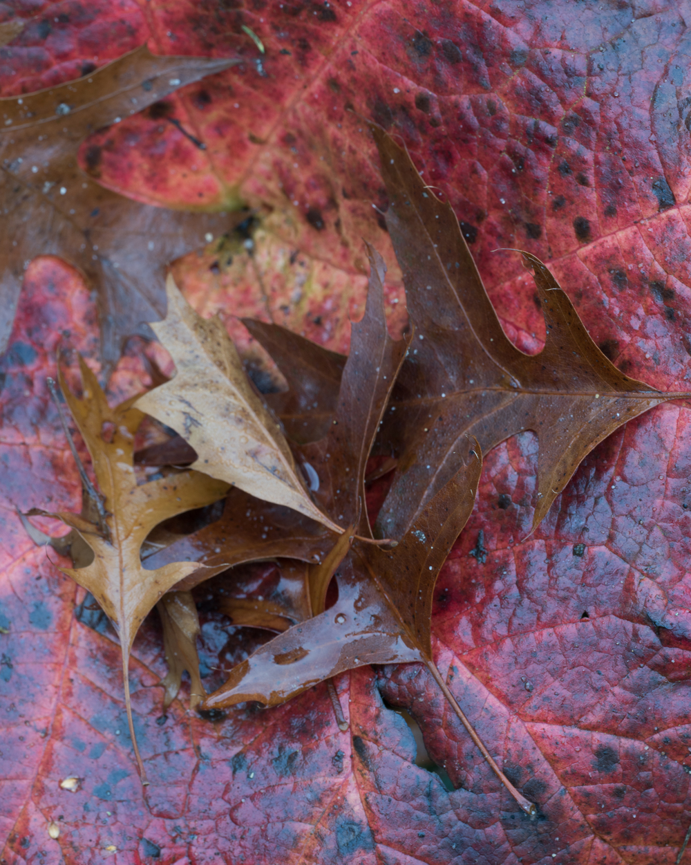 Fallen leaves are held in a large leaf of Darmera peltata 'Nana'. The rich reds of the dying leaves offer a palette of colour that is not available at other times of the year. Photography by Philip Smith courtesy Beth Chatto Gardens