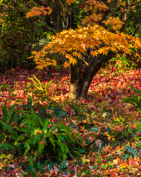 This is a real 'end of autumn shot'. The fallen leaves are a mix of maple and liquidambar. The colour is great of course but for me it's the green fern in the foreground that sets it off.  The weather has been so wild that I've been working indoors and trying to work through some ideas in the dry!