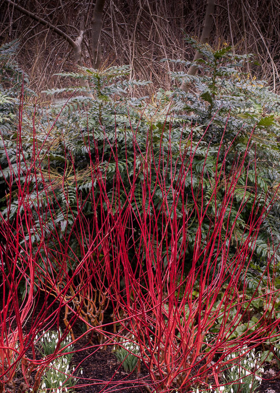 Cornus at RHS Rosemoor with snowdrop underplanting.