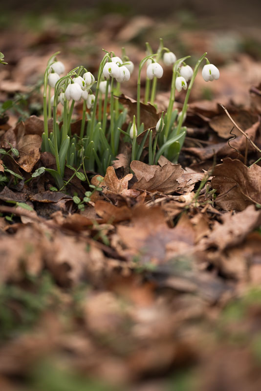 I chose this clump because so often you can only photograph snowdrops against a background of bare earth. The dead leaf mulch lends the picture much more tona interest. Getting down low is usually a good idea, so gardening kneelers are essential kit!