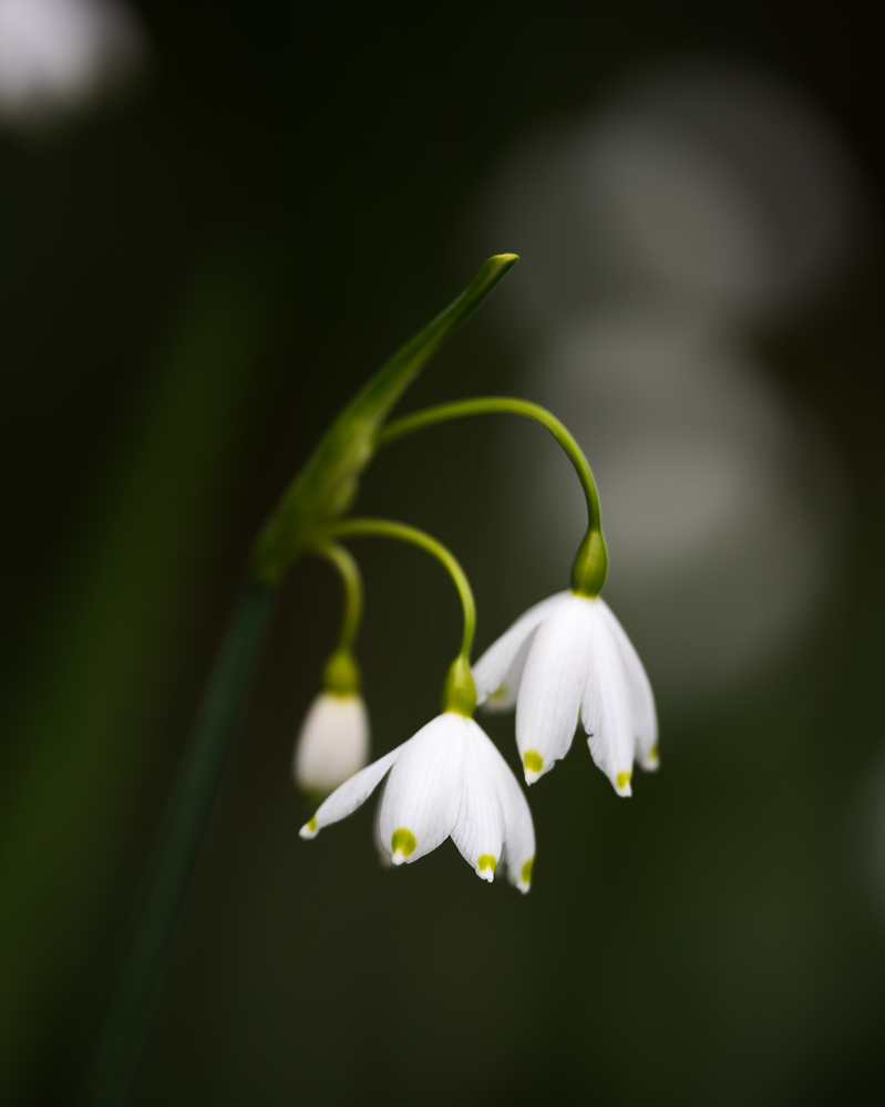 Leucojum aestivum at the Beth Chatto Gardens. 180mm Sigma macro lens
