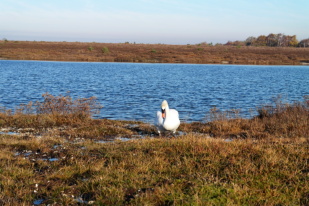 Swan at Hatchet Pond, The New Forest