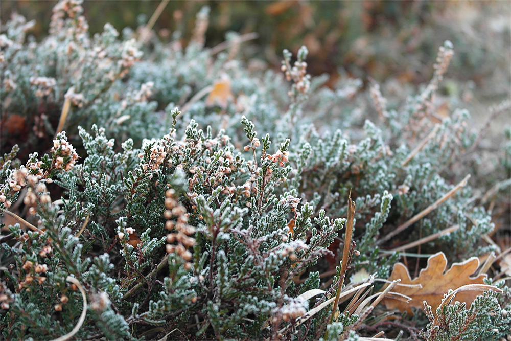 Frost on heather at Hatchet Pond, The New Forest