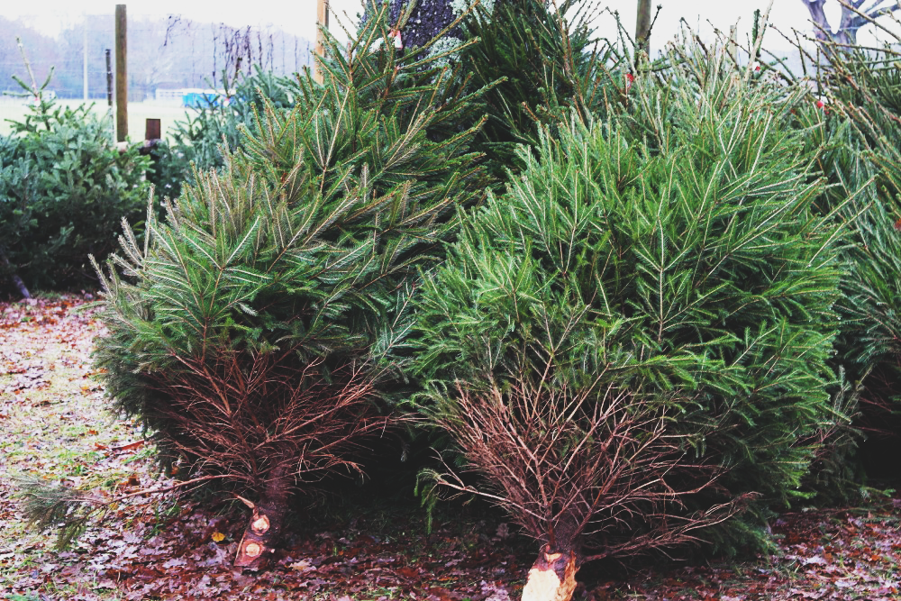 Buying Christmas Trees from the Forestry Commission in The New Forest