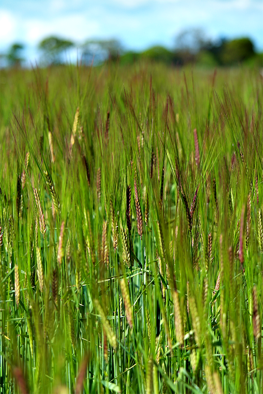 Wheat field, Exbury Estate public footpath, New Forest