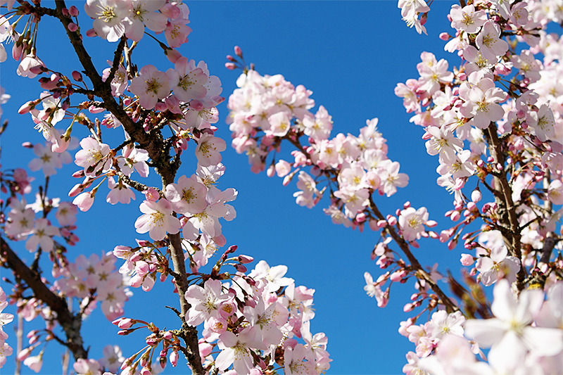 pink blossom and blue sky