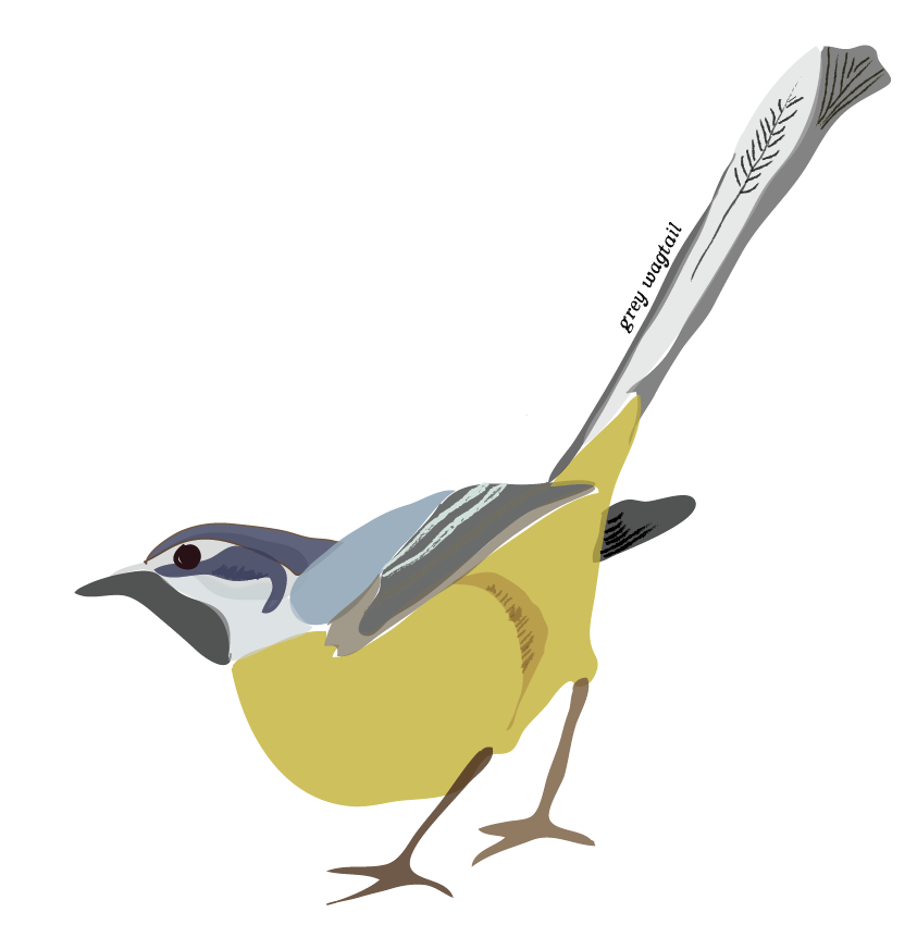 Grey  Wagtail Illustration