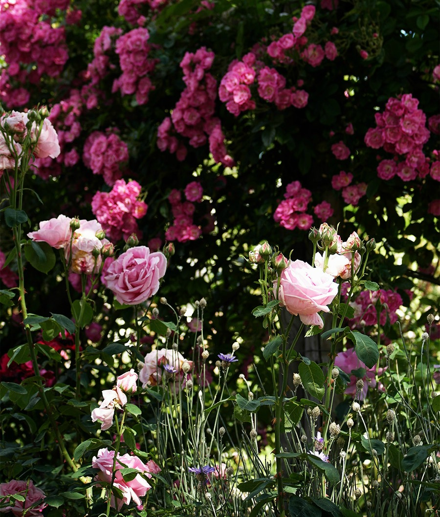 Roses in the Walled Garden at Mottisfont