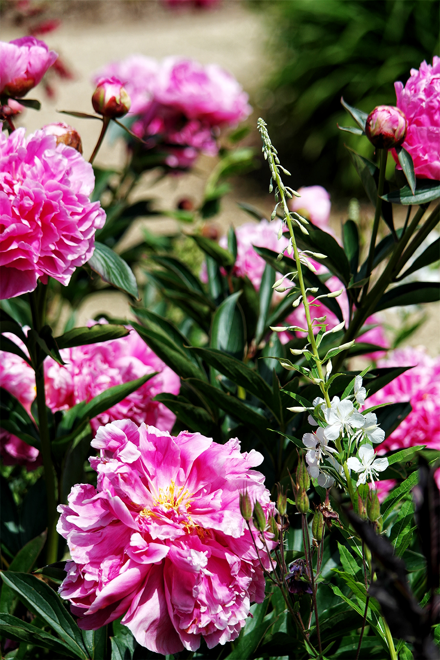 Peonies at Exbury Gardens, Hampshire