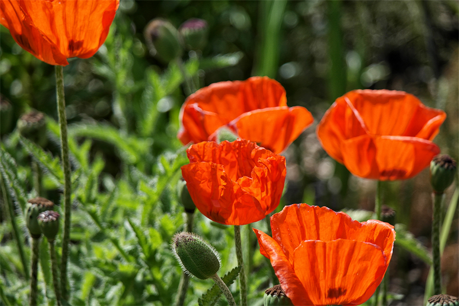 Orange Poppies at Exbury Gardens, Hampshire