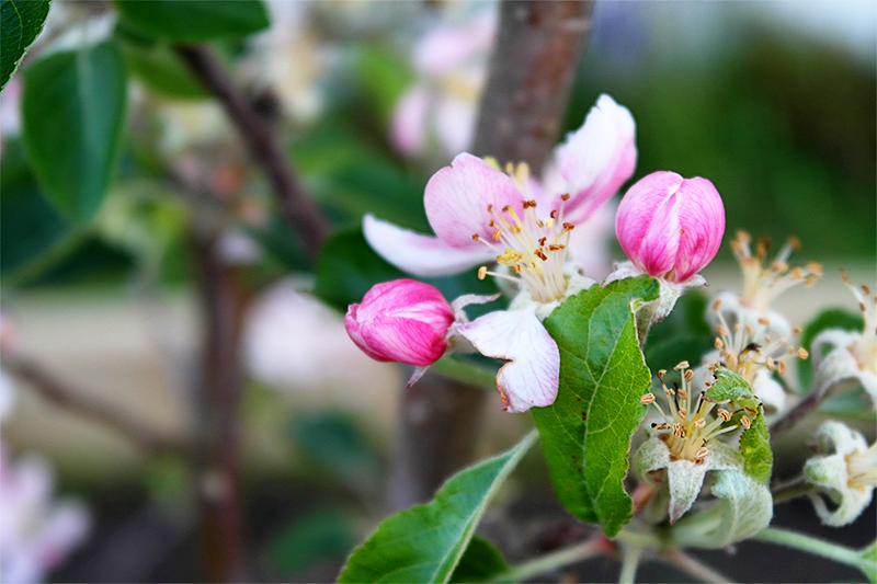 apple blossom in the garden