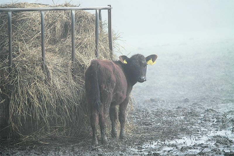 Cows feeding in the fog in the New Forest
