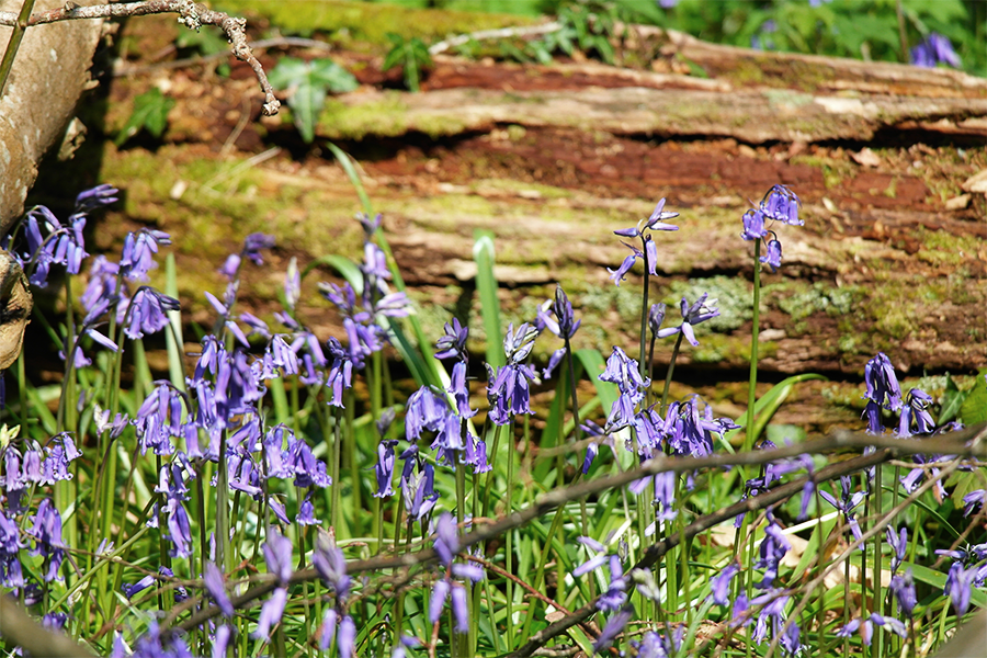 Bluebells near Lyndhurst in the New Forest.