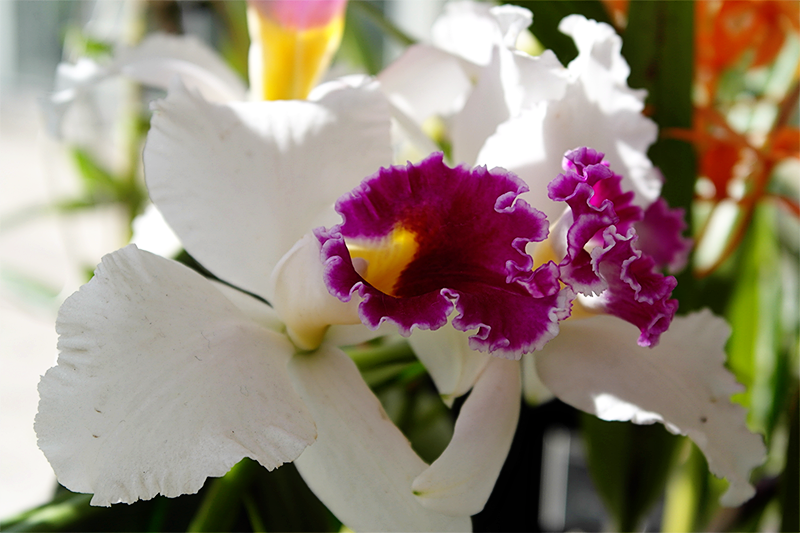 Orchids in the Glasshouse, photos of the orchid display at RHS Wisley