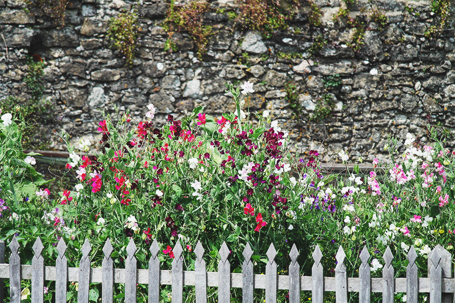 English country garden sweetpeas