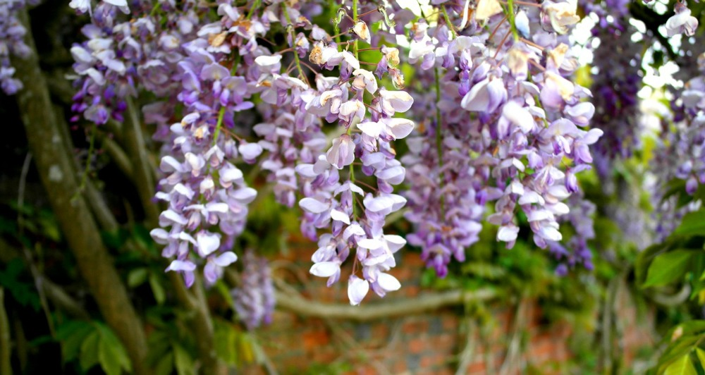Wisteria at Marwell Zoo
